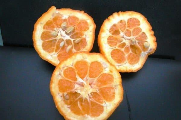 gorky apelsin